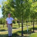 shade trees in nursery red maple