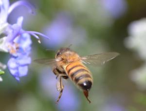 honeybee and purple flower
