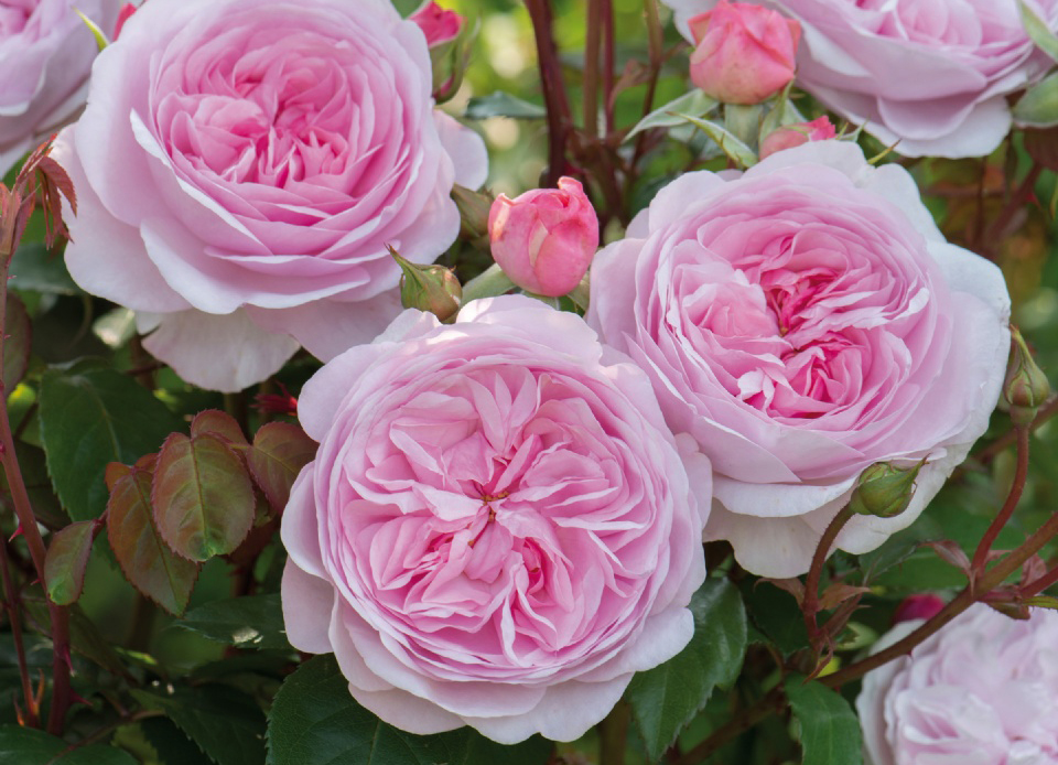 Garden Design: Are Roses Difficult to Maintain? | Surrounds ... on peach juliet garden roses, tea garden roses, spray garden roses, carpet roses, ground cover roses, blush garden roses, soft peach garden roses, drift roses, ivory garden roses, coral garden roses,