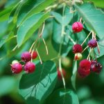 serviceberry-berries