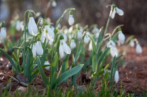 01-snowdrops_colorblends