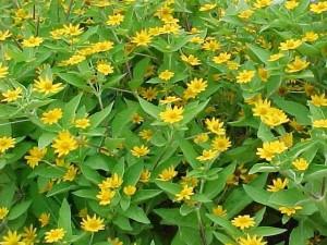 sun loving annual butter daisy