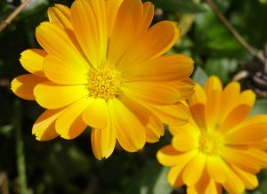 edible calendula flower