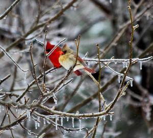 cardinal mates on icy branch by Ryan and Sarah Deeds