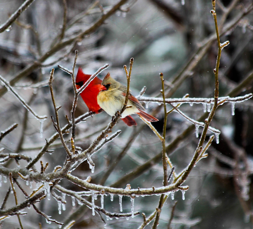 cardinal mates on icy branch by Ryan and Sarah Deeds
