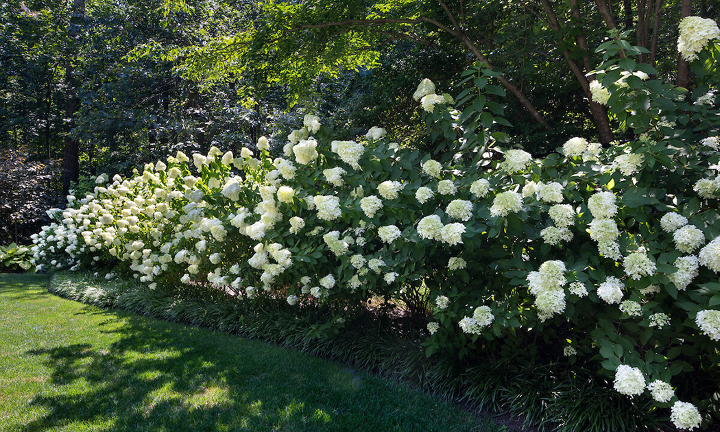 hydrangea backyard privacy border
