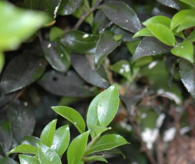 sooty mold garden plant disease