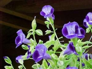 summer annual wishbone flower