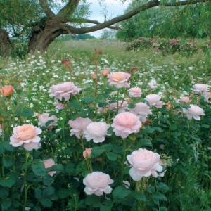 English rose planted amount perennials-Queen of Sweden