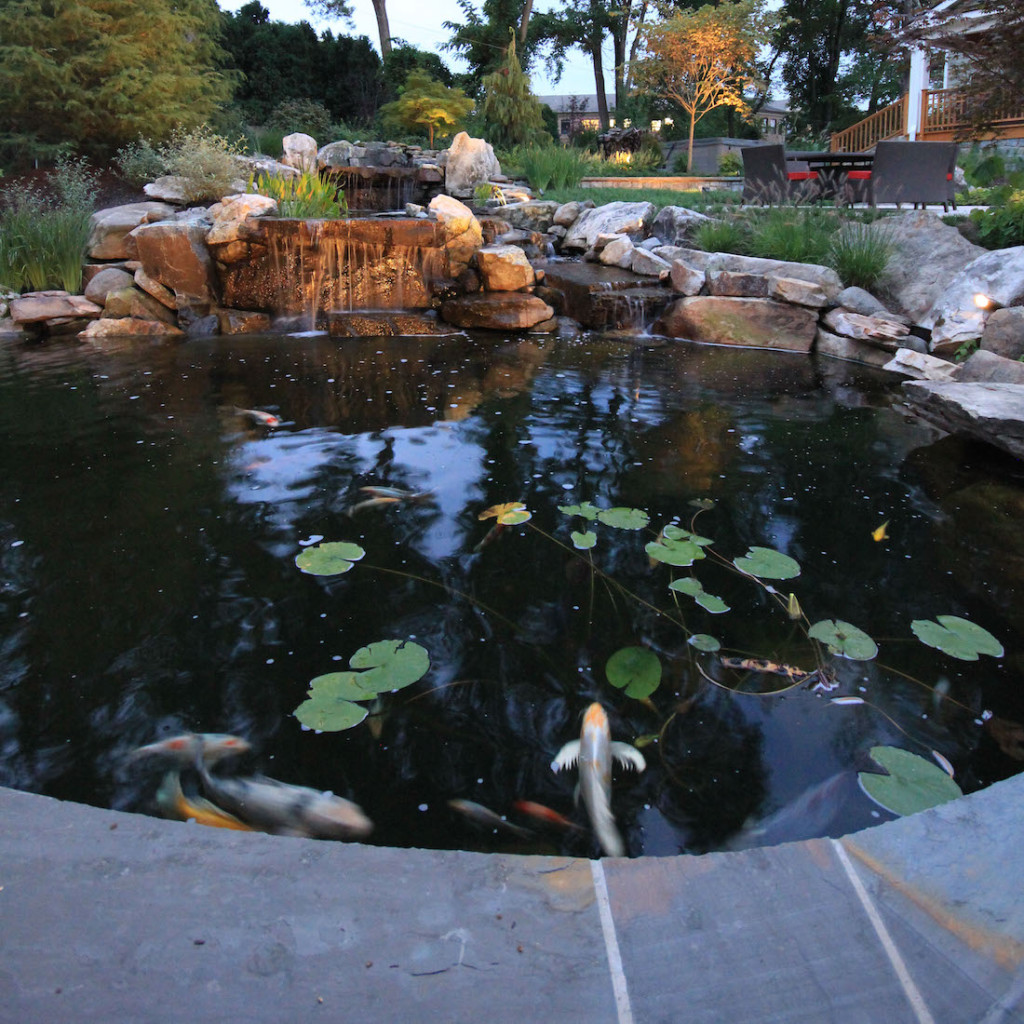 winged koi fish in a koi pond
