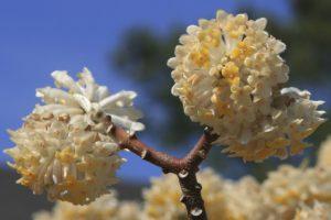 paper bush blossoms