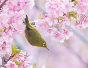 finch & cherry blossoms
