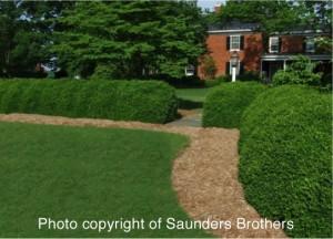 boxwood hedge of rounded plants