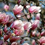 saucer magnolia blossom