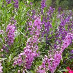 sun loving annual angelonia aka summer snapdragon