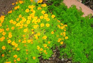 edible marigolds and carrots