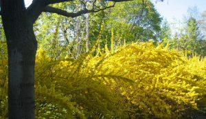 forsythia bushes in bloom