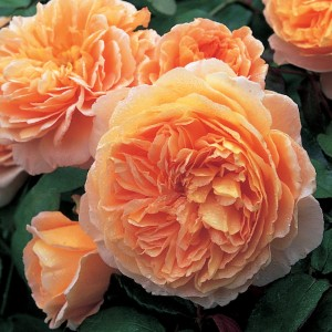 english rose princess margareta