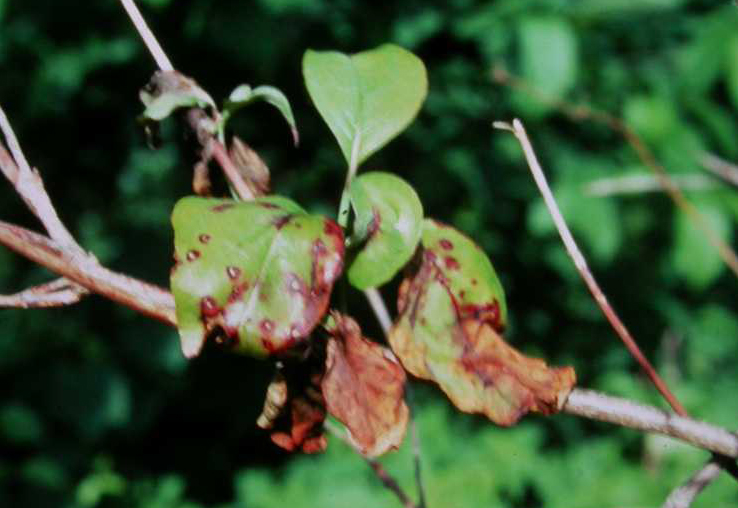 anthracnose on dogwood leaves PHOTO: Missouri Botanical Garden