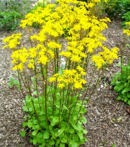 golden ragwort as base layer in a wildlife garden