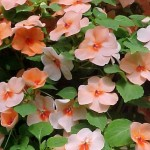 summer annual impatiens