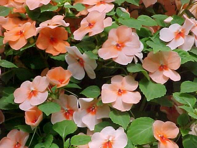 Accenting with summer annual flowering foliage plants surrounds summer annual impatiens mightylinksfo