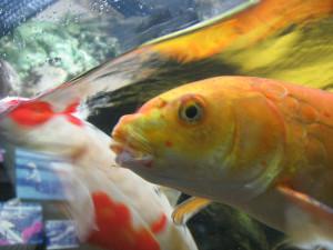 Koi Fish Close Up