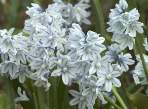 striped squill flowering bulb