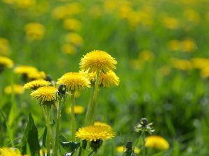 edible dandelion flower