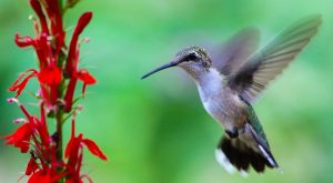 hummingbird and red flowers