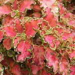 summer annual coleus likes the shade