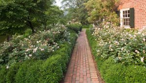 perennial knockout rose bushes bordered by boxwood hedge