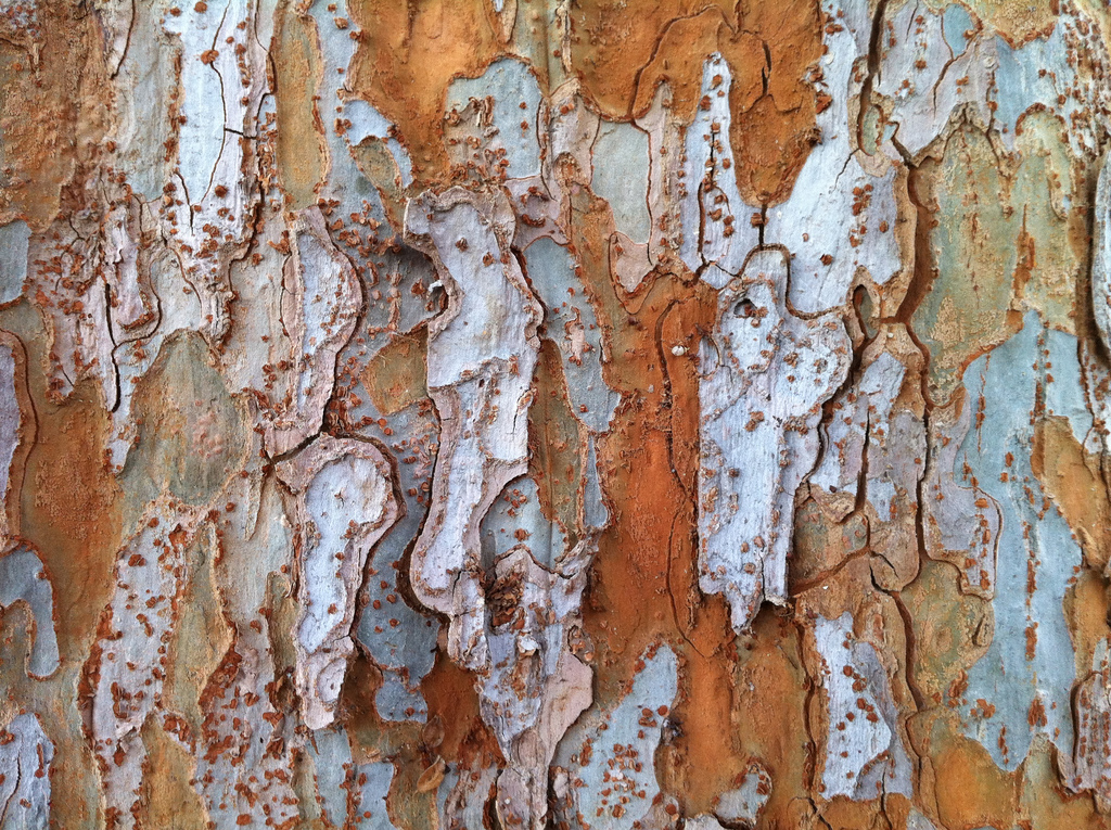 chinese elm bark