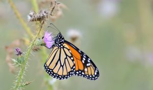 monarch-butterfly-thistle