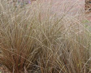 red rooster sedge