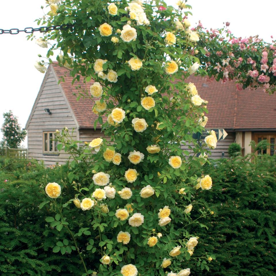 climber-rambler-Pilgrim rose