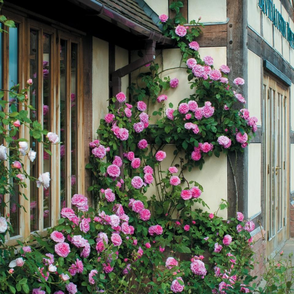 climbing English rose