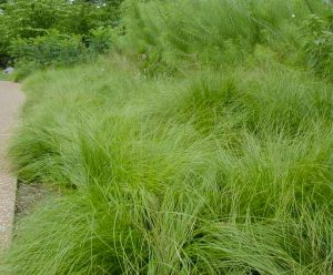 pair dropseed as understory layer in a meadow