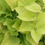 summer annual sweet potato vine