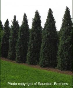 boxwood dee runk variety