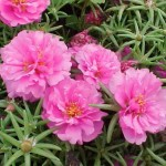 summer annual moss rose