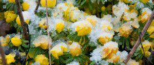 wolfsbane in snow