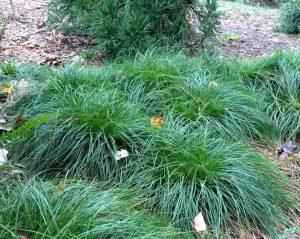 grassland sedge carex