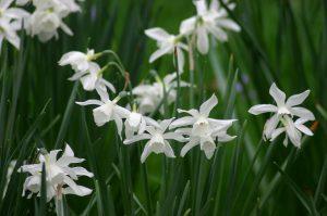 thalia daffodil flowering bulb in garden design