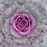 rnamental-cabbage