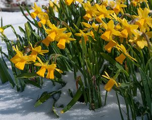 tet-a-tete daffodil in snow