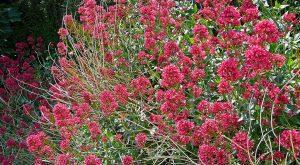 valerian bush in full bloom