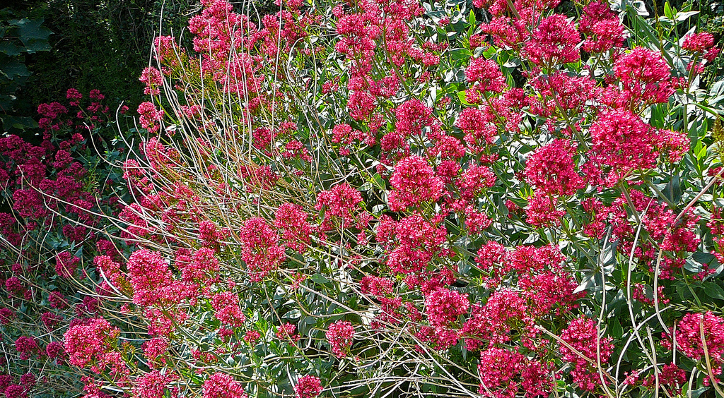 valerian bush in full bloom