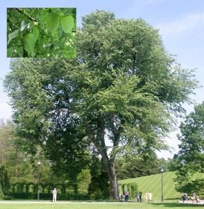 american elm tree Longwood Gardens