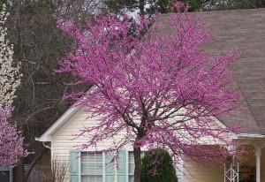 redbud color accents garden design